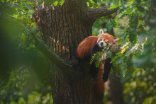 Red Panda (Ailurus Fulgens) Sleeping On A Branch High In The Crown Of A Oak Tree.