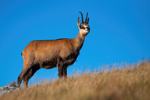 Majestic Alpine Chamois, Rupicapra Rupicapra, Standing On Top A Hill And Looking Around With Blue Sky In Background. Wild Mammal With Curved Horns On A Horizon In Summer Mountains.