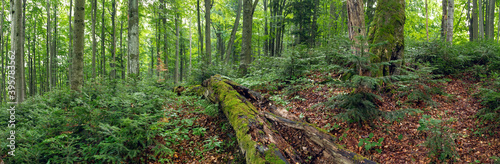 Obraz na plátně Green primeval forest in summer in Stuzica, Poloniny national park, Slovakia