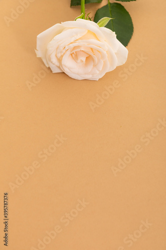 Fototapeta premium White rose at the top on orange background with space below