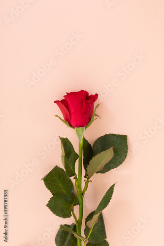 Fototapeta premium Red rose at the bottom on pink background