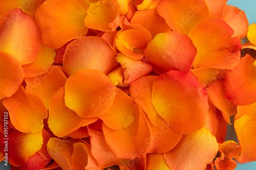 Fototapeta premium Close up of orange rose petals on blue background