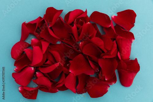 Fototapeta premium Close up of red rose petals arranged on blue background