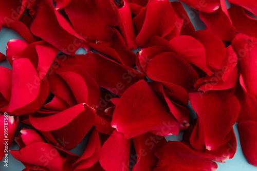 Fototapeta premium Close up of red rose petals on blue background