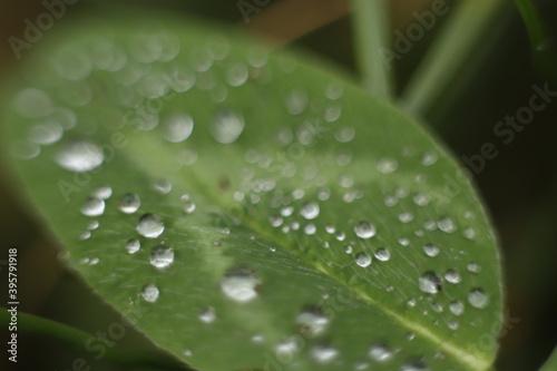 Fototapeta Zielony liść makro z kroplami deszczu obraz