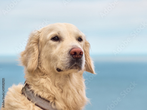 Fotografiet White golden labrador retriever dog on the beach