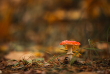 Red Mushroom In The Forest Fly Agaric Poisonous Autumn Woods Fallen Leaves Yellow