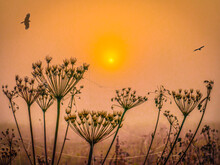 Silhouettes Of Dry Stalks Of H...