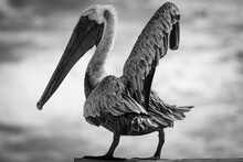 Florida Pelican Standing On Wo...