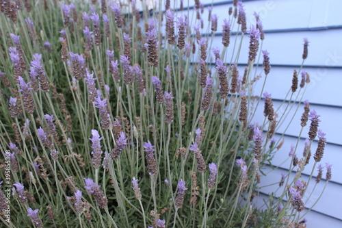 Slika na platnu Lavender flowers on bush against purple weatherboard house