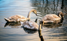 Three Young Swans In A Pond Water In Autumn