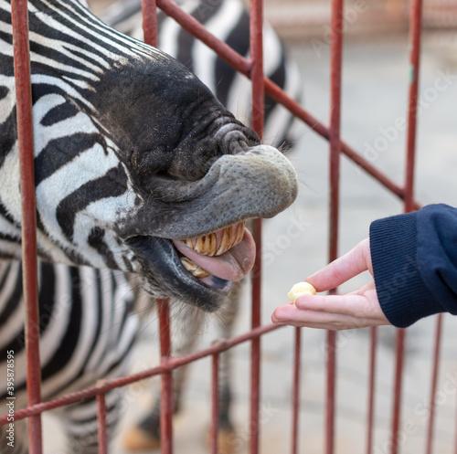 Fototapeta premium Zebra eats from the hand