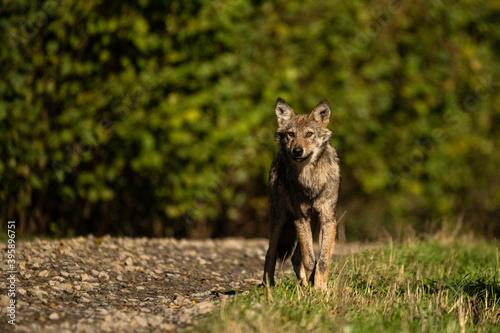 Fototapeta Young Grey Wolf. The Carpathian Mountains. Poland