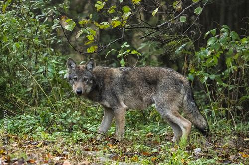 Fotografía Young Grey Wolf. The Carpathian Mountains. Poland