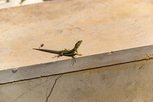The Filfola Lizard Or Maltese Wall Lizard Is A Species Of Lizard In The Family Lacertidae.