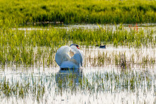 Mute Swan Swimming In A Lake I...