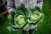 Savoy Cabbage In Hands