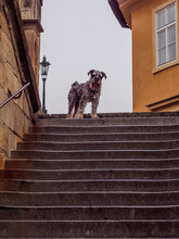 Dog Posing On The Stairs To Charles Bridge From Kampa Island