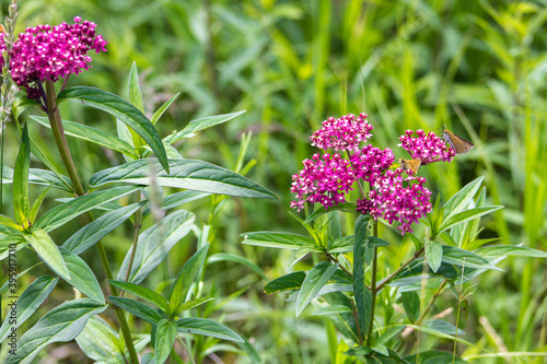 Obraz premium Swamp Milkweed with small butterfly feeding on it. The plant is a hardy perennial that gardeners often use to attract butterfly and hummingbirds.