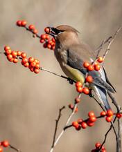 Cedar Waxwing Bird Eating Berries