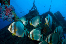 School Of Batfish And Big  Shipwreck.