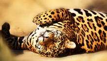 Handsome Jaguar Stretched Out On Stones And Warms His Back