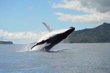 Breaching Humpback Whales 4