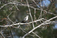 Mockingbird On Small Branch With Blurred Background In Pensacola, Florida, Backyard
