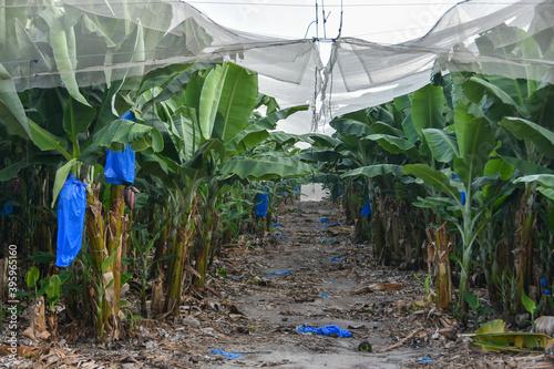 Covered banana plantation in Israel Canvas