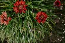 Selective Focus Shot Of Beautiful Red Gazania Flowers Blooming In A Garden