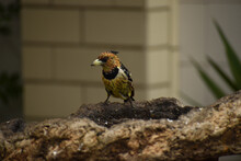 Crested Barbet Sitting On A Bird Feeder