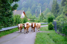 A Herd Of Brown Cows Walking Along A Country Road In Polish Village In Low Beskid, Poland