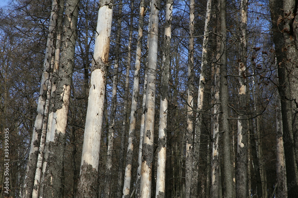 Fototapeta suche drzewa w lesie.