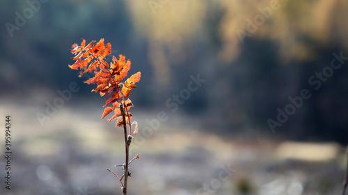Fototapeta Złoty liść jesienny. obraz