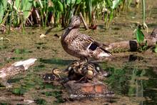 Mallard Duck With Her Duckling...