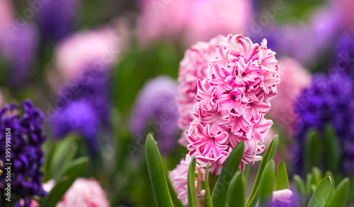 Fotografie, Obraz Large flower bed with multi-colored hyacinths, traditional easter flowers, flower background, easter spring background