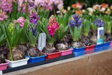 Young Hyacinthus Orientalis Flowering Plant In The Ground In Seedling Trays In A Garden Shop.