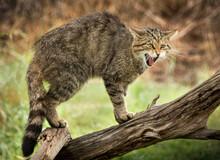Wildcat - Felis Silvestris - H...