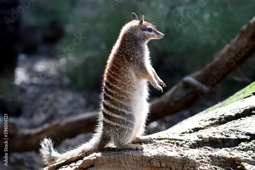 Photo Numbat standing on hind legs