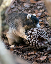 Sherman Fox Squirrel Stock Photo. Sherman Fox Squirrel Eating Pine Cone For Christmas Season In  Its Habitat And Environment With A Blur Background Image. Picture. Portrait.