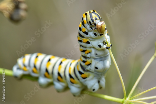 Fototapeta swallowtail caterpillar eating closeup