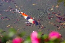 池の中の錦鯉