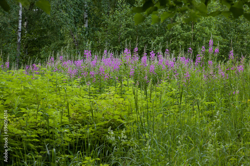 Fototapeta Pink flowers of willow-tea in a meadow among the forest. Spring or summer floral forest background or landscape. The medicine is fireweed. obraz na płótnie