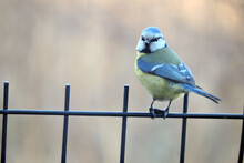 A Portrait Of A Eurasian Blue Tit Sitting On A Wire Panel Fence And Holding A Sunflower Seed With Its Claws