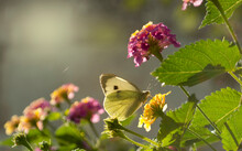 European Large Cabbage White Butterfly , Pieris Brassicae On The Flowers Of Lantana Camara , In The Morning
