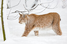 Eurasian Bobcat Lynx Lynx Finding Its Path In Snow-covered Winter Landscape