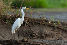 Great Egret Standing On Muddy ...