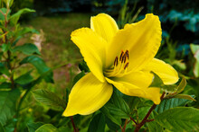 Yellow Lily Flowers In The Gar...