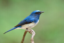 Blue Bird With White Belly And...