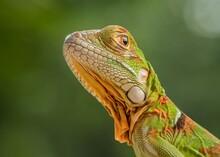 Baby Iguana Super Ref